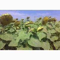 Семена подсолнечника - Атилла, Кардинал, Дозор, Олівер, Меркурій, Меридиан