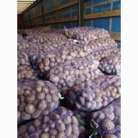 Продам картофель оптом есть разные сорта на выбор, картофельхорошего качества