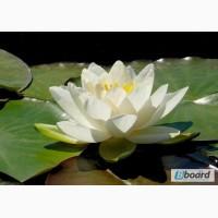 Німфеї (кувшинки), прибережні та водні рослини для декоративних водойм