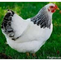 Адлер Серебристый. Мясо-яичные породы и бройлер