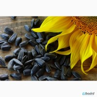 Реализуем семена урожайных гибридов подсолнечника Сингнета и Лимагрейн