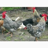 Яйца кур мясо-яичного направления Мастер Грей