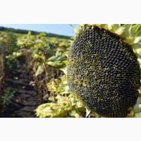 Насіння сорту соняшнику - СУР - сорт ультрараннього соняшнику