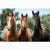 Продам лошадей на мясо живым весом
