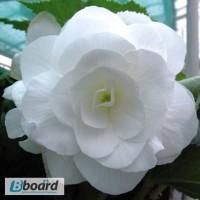 Продам семена Бегония Белая крупноцветковая (Cerny Чехия)