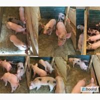ПРОДАЮТСЯ Быстро растущие мясные поросята, большой убойный выход мяса