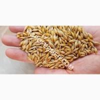 Семена ячменя ELDON канадский трансгенный сорт (элита)