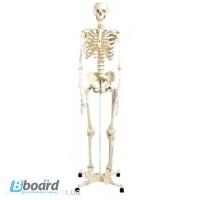 Модель скелета человека
