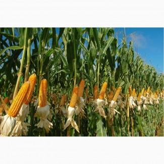 Насіння кукурудзи гібрид - Гран 220