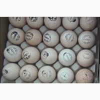 Инкубационное яйцо индюшат тяжелого кросса Биг-6 и Хайбрид. Венгрия. Цыплята. Утята