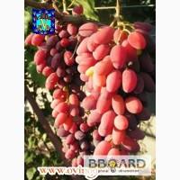 Высокоурожайные сорта винограда, саженцы всегда в наличии и под заказ ...