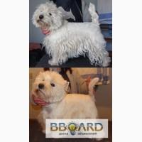 Тримминг собак, стрижка- Вест Хайленд Вайт Терьер, West Highland White Terrier, вестик, we