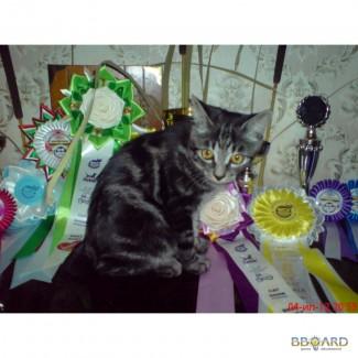 Питомник котята Курильского бобтейла