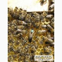 Пчёлы. Пчелопакеты. Пчелиные плодные матки (пчеломатки). Карпатка. Вся Украина