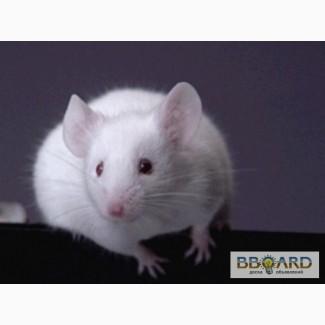 Продаю белых лабораторных мышей на корм и разведение