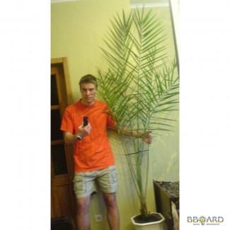 Финиковая пальма,продаю. Купить финиковую пальму, Харьков, 399 грн, 3м