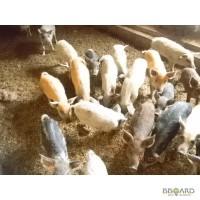 Поросята свиноматки поросные .хряки в Измаиле