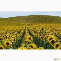 Посевной материал Подсолнечник Сонячник Аурис под ( Гранстар Экспресс 75)