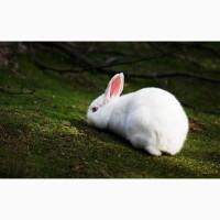 Кролики для разведения. Элит Кроль
