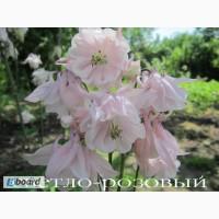 Продам саженцы аквилегии розовой (водосбор)