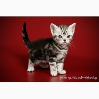 Американсая короткошерстная. котята, Киев