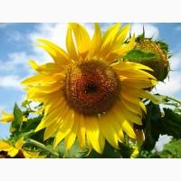 Продаємо посівний матеріал гібриду кукурудзи ГРАН 240