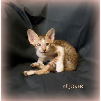 Сиамо-ориентальные котята, редкого окраса