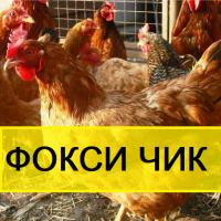 ИНКУБАЦИОННОЕ яйцо КИЕВ. Мясо-яичный кросс Фокси чик из Венгрии