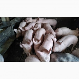Продам поросят со свинокомплекса Купить поросят оптом