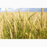 Семена пшеницы АЛАТУС 1 репрод