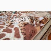 Купить бенгальского кота Харьков. купить бенгальского котенка в Харькове