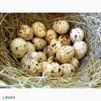 Перепелиные яйца, домашние, экологически чистые