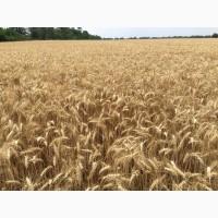 Закупаємо пшеницю у виробників, дорого