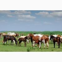 Продам лошадей живым весом жирных