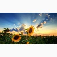 Осман (ІМІ – толерантний до євро-лайтнінгу) гібрид соняшнику
