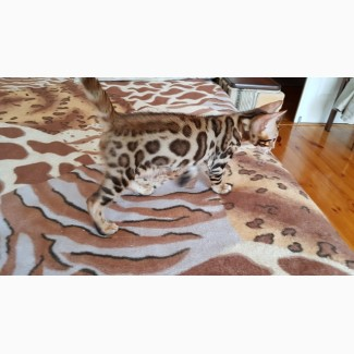 Купить бенгальского кота