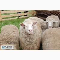 Продаются овцы Цигайской породы