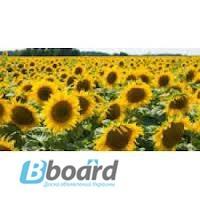 Семена подсолнечника.Доставка по Украине