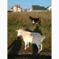 Продам козу, три года