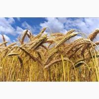 Куплю зерновые. Самовывоз