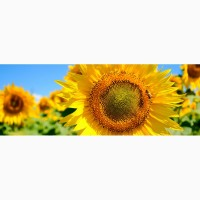 Пропонуємо якісне насіння соняшнику