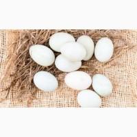 Продам інкубаційні яйця качок. Інкубаційні яйця качок Мулард