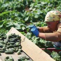 Сезонная работа для женщин и мужчин в Сербии. Сбор урожая огурцов
