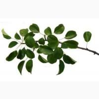 Листья дикой груши 50 грамм