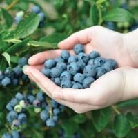 Нужны сезонные работники на сбор урожая ягод в Германии