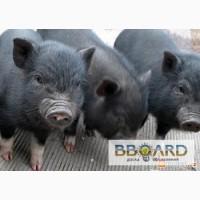Вьетнамские вислобрюхие поросята , свиньи , свиноматки.