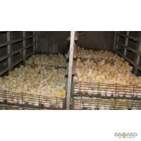 Продам цыплят, суточные и подрощеные