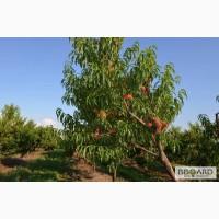 Персик оптом, элитные сорта яблок, абрикоса, сливы, малины