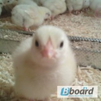 Продам инкубационные яйца бройлера КОББ 500