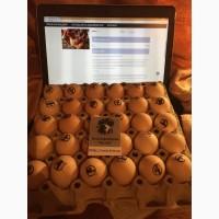 Продам Инкубационное яйцо кур яично мясной породы